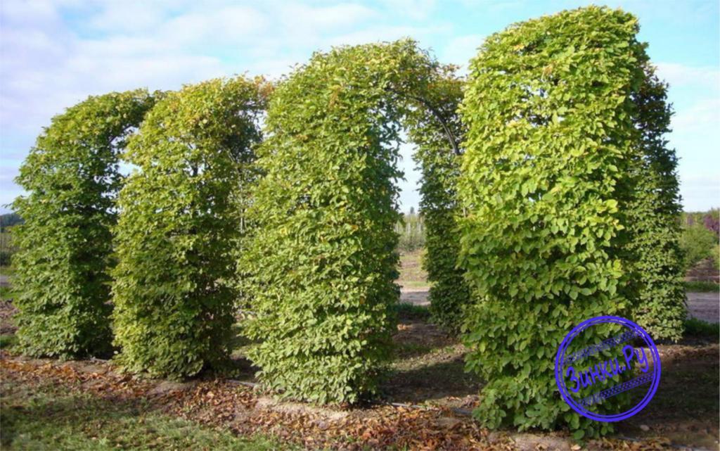Арки, способные выдержать вес разросшихся растений. Лобня. Фото - 4